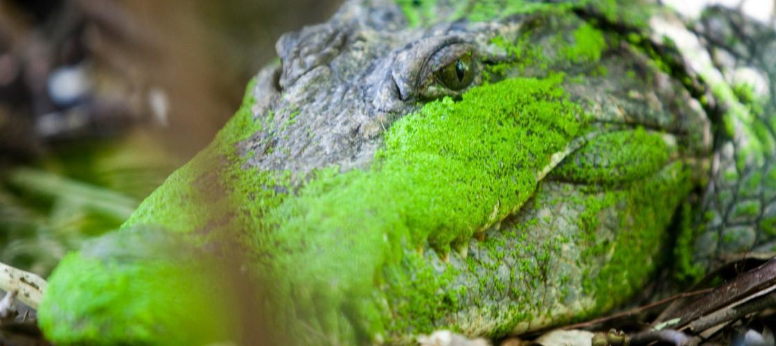 Crocodile pool Gabmbia